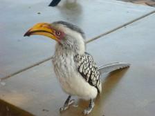 Hornbill up close
